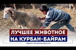 Embedded thumbnail for САМОЕ ЦЕННОЕ ЖИВОТНОЕ ДЛЯ КУРБАН-БАЙРАМ